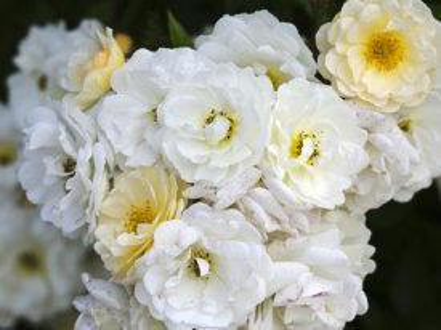 Creamy Ghislaine de Feligonde Rambling Rose Clusters.