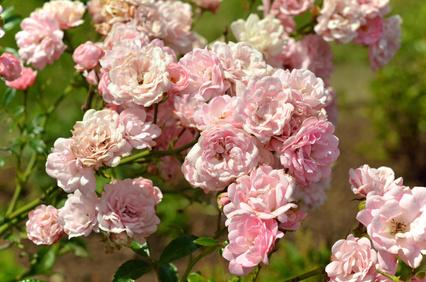 The Fairy Rose in Full Bloom.