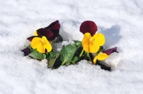 A Perfect Viola Blooming in the Snow.