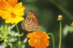 A Beautiful Leopard Butterly on an Orange Cosmos Flower.
