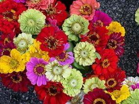 A huge bunch of Zinnias of all colours.