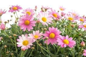 Pink Marguerite Daisies.