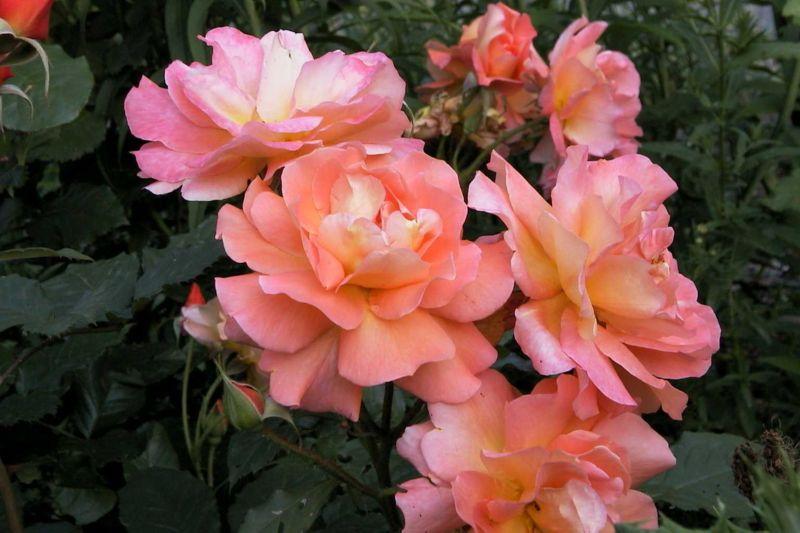 Orange, apriclot, pink Westerland Rose. A Fragrant Floribunda Climber.