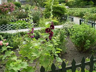 Dark red hollyhocks in a front garden.