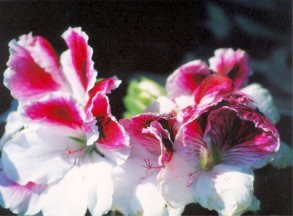 Magenta and White Snapdragon.