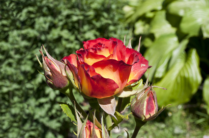 Joseph's Coat Rose in Ruby and Yellows.