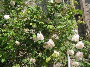 Beautiful white climbing rose flushed with pink. Mme Alfred Carriere.