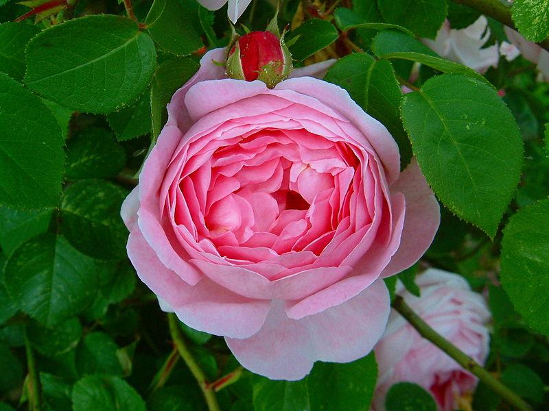 David Austin Rose Constance Spry..