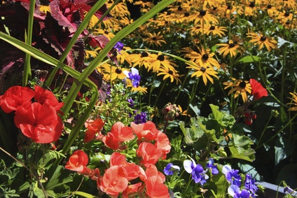 Red Begonias, Violets and Coneflowers.