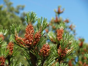 Female Pine Cones at the Top of a Pine Tree.