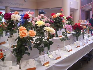 Winning Roses at a Rose Exhibition.