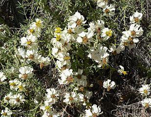 The creamy Zinnia alcerosa bush (Desert Zinnia).