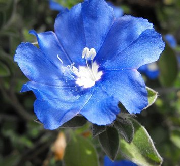 Bright Blue Evolvulus flower.