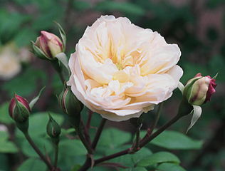 The beautiful  creamy pink to deep pink noisette rose 'Desprez a fleurs jaunes' 1830.