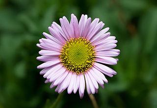 Single seaside daisy. Erigeron glaucus.