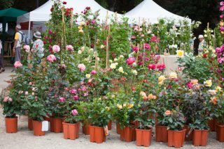 Roses For Sale. Three Heights And Assorted Colours.