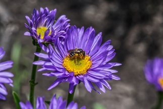 Beautiful Purple Asters With A Visiting Bee.
