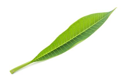 A Frangipani Leaf.