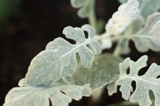 Broad-Leaved Dusty Miller.