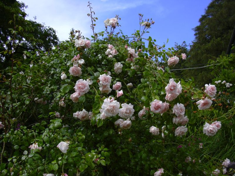 The Stunning Pastel Pink New Dawn Rose.