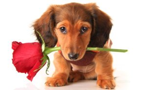 Dachshund Puppy With Red Rose In His Mouth.