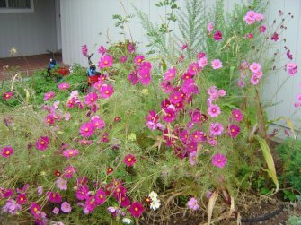 A patch of Cosmos flowers in a patch of pink.