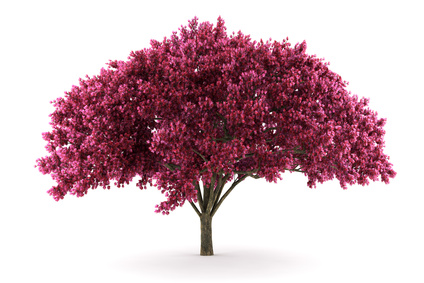 Deep Pink Crepe Myrtle Tree.
