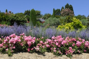 Pink Roses And Salvia With Evergreens.