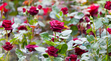 A Deep Red Hybrid Tea Rose Bush.