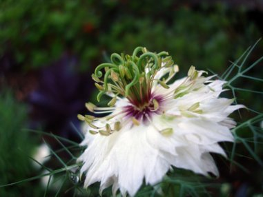 A White Nigella Flower.