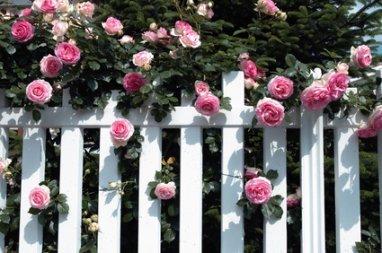 Pierre de Ronsard Rose Over White Fence.