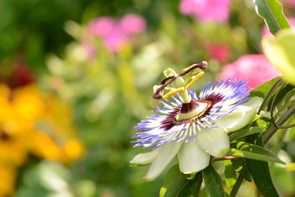 The Passion Flower.