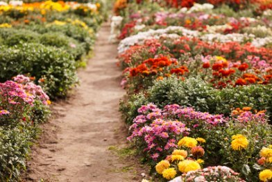 A path through the Chrysanthemums.