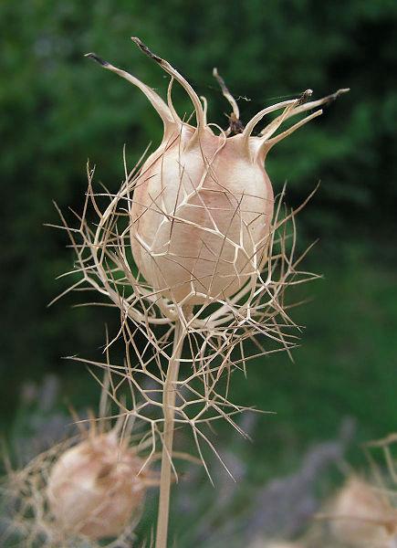 Nigella Seed Pod.