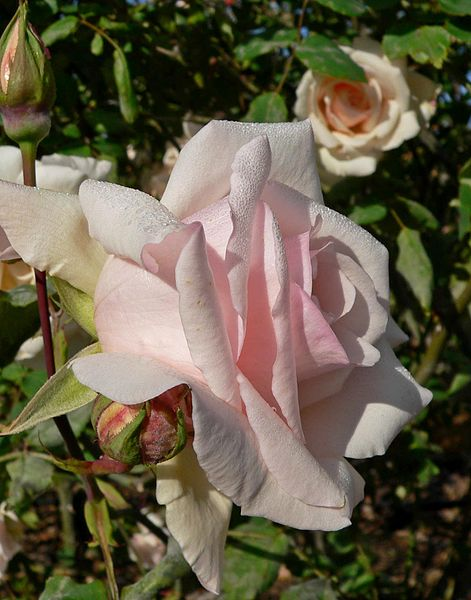 CAtherine Mermet Climbing Tea Rose. Pastel Pink.