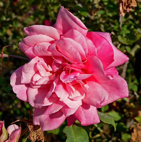 Gorgeous pink tea rose R. Archiduc Joseph.