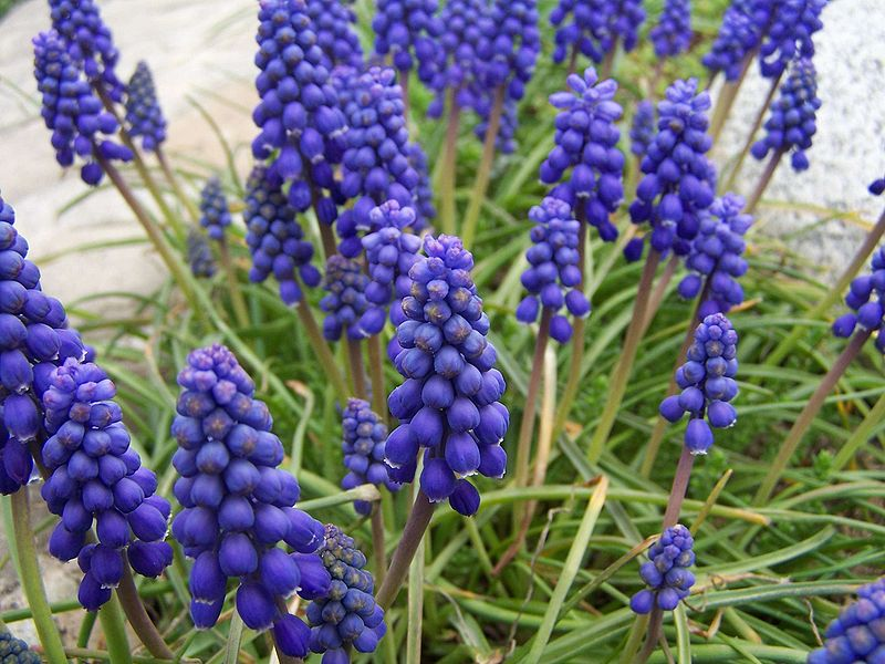 Spring bulbs getting through the winter underground blue grape hyacinths mightylinksfo
