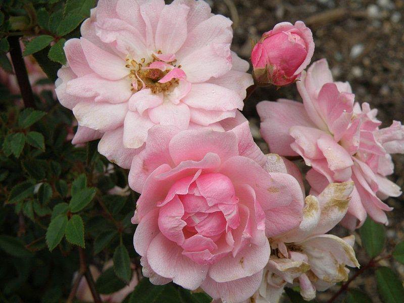 Pastel pink Miniature Rose 'Perla de Monserrat'.