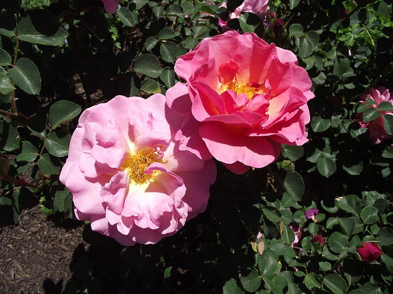 Gorgeous pink double David Austin Rose 'Lilian Austin'.