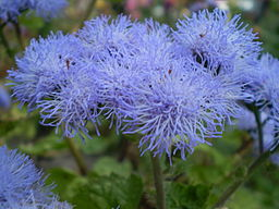 Ageratum Blue Mink Completely Opened.