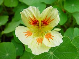 Cream nasturtium with orange and red markings. Beautiful.