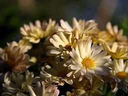 Creamy Yellow Daisy Flower.