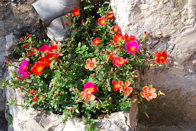 Red, pink, yellowish orange Portulacas. Single. Moss Roses.