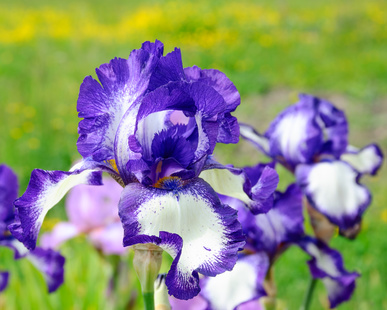 Blue and White Iris flowers.