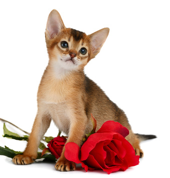 Kitten With Red Roses.
