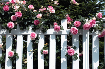 Pierre de Ronsard Rose Over White Fence.