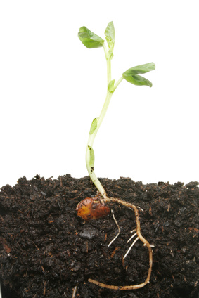 Broadbean Seedling.