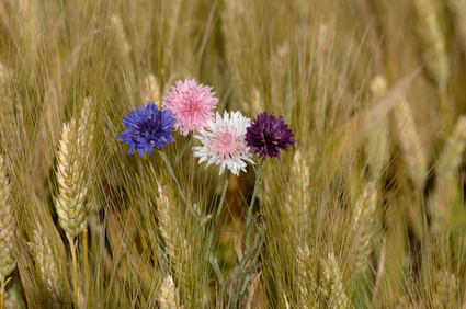 Blue, pink and purple Cornflowers in the Wheat.