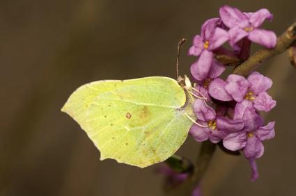 Creamy Yellow Buttyerfly On Daphne Odora Flowers.