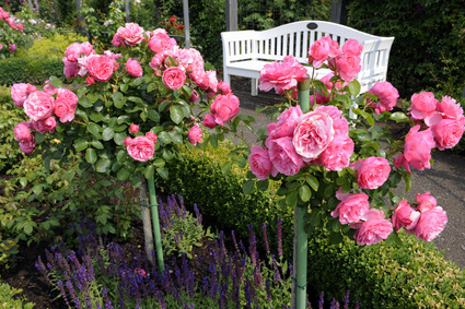 Beautiful pink standard roses opposite a White Garden Seat.